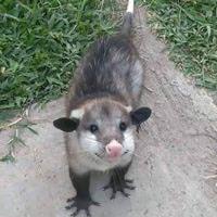 Possum Catcher & Removal Inglewood